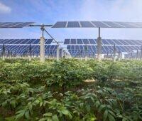 Photovoltaik-Anlagen auf einem Feld mit Gemüseanbau
