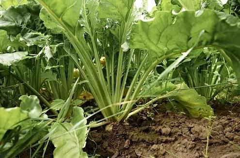 Zu sehen sind Zuckerrüben auf dem Feld. Aus ihnen lässt sich Bioethanol erzeugen, um die THG-Quote im Verkehr zu erfüllen.