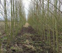 Zu sehen ist eine Energieholzplantage. Der Biomasse-Anteil an der Stromerzeugung in Deutschland liegt bei neun Prozent.