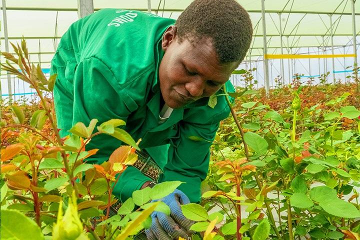 ZU sehen ist ein Arbeiter im Rosengewächshaus, das bald mit Photovoltaik für die Rosenzucht ausgestattet werden soll.