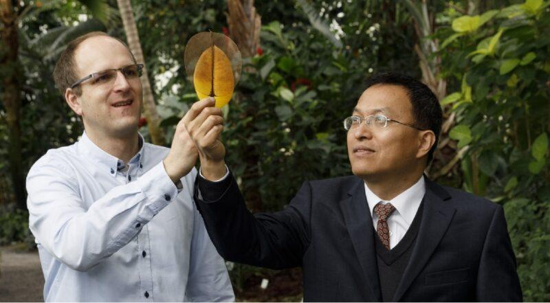 Zu sehen sind Dr. Jonathan Plentz (links) und Dr. Guobin Jia vom Leibniz-IPHT, die ihre Elektrode aus Laubblättern bzw. ein Magnolienblatt in den Händen halten