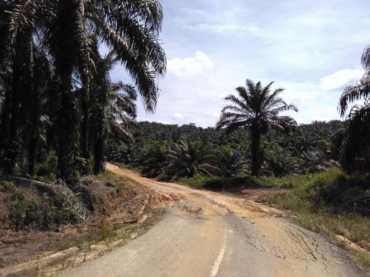Zu sehen ist eine Straße in einer Palmölplantage in den Tropen, wo einzigartige Wälder zerstört werden, um Kraftstoffe aus Pflanzenölen bereitzustellen.
