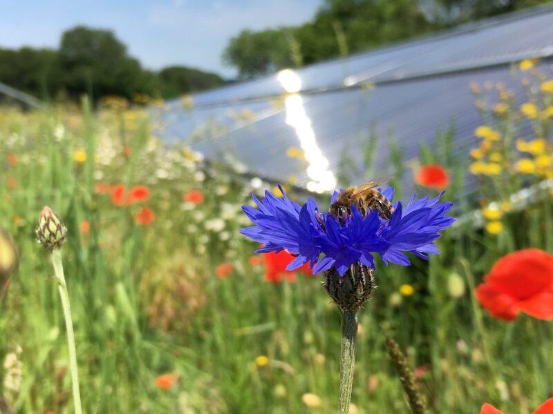 Zu sehen ist eine Biene, die sich wohlfühlt in der Solarthermieanlage als Biotop.