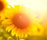 ZU sehen ist eine Sonnenbluem als symbol für eine umweltfreundliche Heizung. Darin ging es im Energie-Trendmonitor 2020.