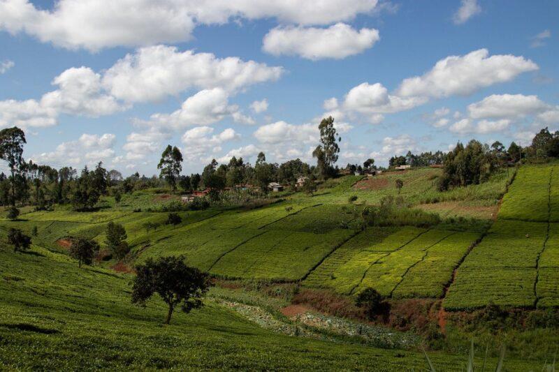 Grüne Flächen mit Tee und ein kleines Dorf in Kenia.