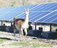 Zu sehen ist ein Lama vor der PV-Anlage des Hydro-Photovoltaik-Microgrid.