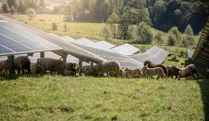 Schafe weiden unter PV-Modulen.